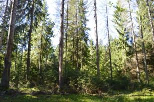 w puszczy w siedliskach borowych w miescu zamierajacych swierkow pojawiaja sie mlode  (1)